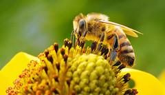 bee content (Simple_Sight) Tags: biene bee blume flower makro macro closeup ngc npc