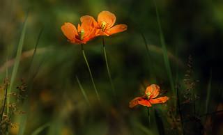 Wild poppies.