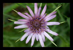 Tragopogon porrifolius (Annette Rumbelow) Tags: tragopogon porrifolius macro flower petals colour beauty gorgeous annetterumbelowwilson sony a550