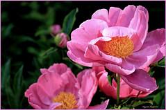 Pivoines roses au Domaine-Joly-De-Lotbinire, Qc. (Huguette T.) Tags: pivoine peonies t summer jardin garden parc park rose pink