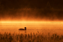 solitude (Photography by Ramin) Tags: duck female mallard morning reflection ottawa mud lake water beauty foggy silhouette misty golden hours canada