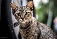 Zafiro (E S M Photography) Tags: animal colores miradas ojos verano mascota gato caribbean sonyflickraward summer pet cat morning looking colors eyes