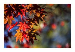 A Colourful Autumn (red stilletto) Tags: blue autumn red orange green yellow bokeh autumnleaves sassafras autumnleaf thedandenongs alfrednicholasgardens famousflickrfive
