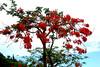 El flamboyan (LaNena2007) Tags: trees arboles florales arbol flores arboldefloresrojas flamboyan