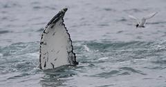 Humpback Whale (jameslidster1) Tags: travel bird james iceland wings tour birding seabird sunbird ijsland lidster