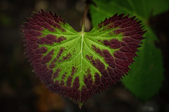 Show Me Your Heart (GiNa P.) Tags: red macro green rot nature heart natur grn makro botanicalgarden herz botanischergarten ginap