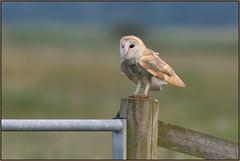 Barn Owl (image 1 of 3) (Full Moon Images) Tags: bird nature barn wildlife bcn reserve national owl trust prey fen cambridgeshire birdofprey woodwalton nnr greatfen