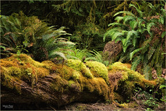 moss and ferns (marneejill) Tags: rain forest moss green yellow decay ferns logs rotting riverbank beautiful colours sunlight trees