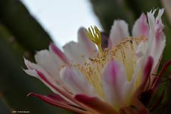 Cereus Peruvianus (Paolo Bonassin) Tags: flowers cactaceae cactacee cactus succulente cereus cereusperuvianus