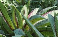 Chicorius intybus (klarikris) Tags: gemse chicoriusintybus horta huerta vegetable garden