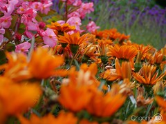 Photo take from yesterday, have a good day! (choong mun) Tags: pink flowers red summer orange green nature garden leaf purple outdoor panasonicdmcg7