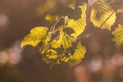 Hojas de mi niez (Nathalie Le Bris) Tags: leaf feuille hoja sombra shadow shade ombre bokeh contraluz backlight contrejour