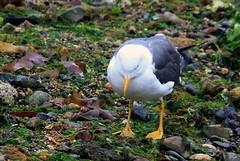 Lesser Black-backed Gull (2) (grahamh1651) Tags: newlyn newlynharbour tolcarne birds seabirds gulls swans waders shorebirds