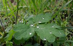 Berlin in spring (Bjrn O) Tags: waterdrops leave blatt wassertropfen tiefenschrfe schrfentiefe wasser
