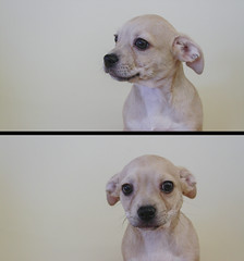Kipper the 10 Week Old Chihuahua Houndy Mix (Immature Animals) Tags: kipper chihuahua pup puppy mix mutt tucson arizona petco diptych