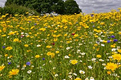 Field of flowers (Englepip) Tags: wildflowers commercial plants outdoor yellowdaisies cornflowers blue pink white