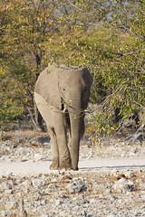 Namibia 2016 (346 of 486) (Joanne Goldby) Tags: africa africanelephant august2016 elephant elephants etosha etoshanationalpark explore loxodonta namiblodgesafari namibia safari