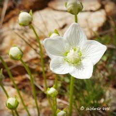 Studentenröschen - Sumpf-Herzblatt - paranassia palustris