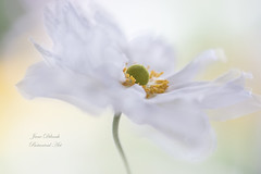 Summer white (Jane Dibnah Botanical Art) Tags: sanemone white summer flora floralart creativephotography macrophotography selectivefocus nature beautyinnature gardenflora