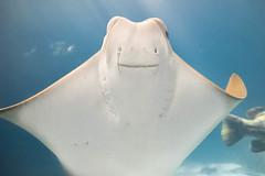 Best. Portrait. Smile. Ever (Daniel A Ruiz) Tags: portrait animal water aquarium georgia stingray smile blue project365