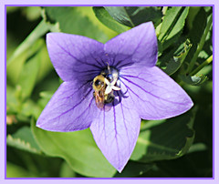 Bee In Balloon (bigbrowneyez) Tags: bee blossom macro fabulous insect wing sunnyl delightful visitor petals core center purple mauve cornice frame nature natura fioro apa bumblebee shiny shimmery balloonplant beautiful gorgeous lovely bellissimo bello bokeh light luce bright sunny