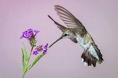 Black-Chinned Hummingbird (female) (Eric Gofreed) Tags: hummingbird mybackyard sedona villageofoakcreek yagvaggpaicounty