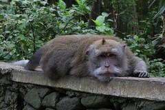 IMG_1339 (oowhatsthatdoo) Tags: bali indonesia monkey forest tired