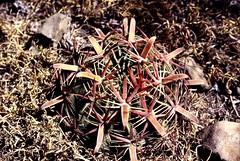 029-014 (Robby's Sukkulentenseite) Tags: cacti cactus ferocactus guanajuato ka1015s kakteen kaktus latispinus mexiko rb2 reise sanluisdelapaz standort