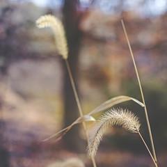 momentary glance (Satirenoir) Tags: autumn grass bokeh utata thursdaywalk winklerbotanicalpreserve utata:project=tw448