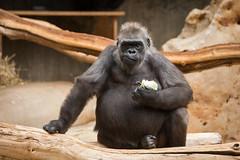 2014-12-05-09h48m50.BL7R7634 (A.J. Haverkamp) Tags: germany zoo gorilla tumba krefeld dierentuin westelijkelaaglandgorilla canonef70200mmf28lisusmlens dob01011973 httpwwwzookrefeldde pobinthewildcameroon