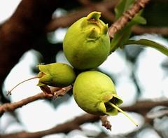 ecosystem/flora/Wild Guava(Careya arborea) (biodiversity western ghats) Tags: tree lecythidaceae careyaarborea wildguava taxonomy:binomial=careyaarborea