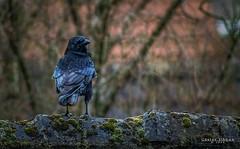 Rabe #1 (Gnter Jibben) Tags: deutschland ostfriesland tier vogel rabe niedersachsen aurich rabenvogel