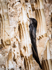 Common Swift (xrxss15) Tags: birds animals tiere andaluca spain europe alhambra granada animalia spanien generalife swifts apusapus commonswift mauersegler apodidae spain062014