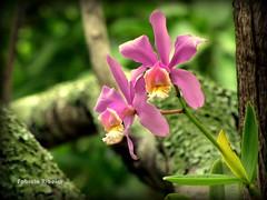 Laelia (Fabiola Ribeiro de Carvalho) Tags: natureza natura laelia orquídea gamewinner duetos frenteafrente thechallengefactory fotocompetitionbronze gamex2 gamesweepwinner nanaturezainnature prégamesweepwinner pregamefirstbirthdaybirthdayspecial
