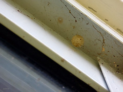 Bolsas de huevos de L.geometricus (Juancho 507) Tags: abstract spider diagonal panama araña panamá brownwidow 2014 arañas latrodectus theridiidae chorrera araneomorphae latrodectusgeometricus juancho507 araneomorfa lgeometricus arañasviuda viudamarrón