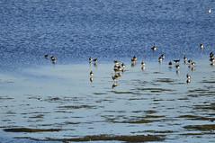 Old Moor (290) (rs1979) Tags: bird birds lapwing barnsley rotherham rspb wombwell lapwings oldmoor oldmoorwetlandcentre wathings wathingshide oldmoornaturereserve lowvalley