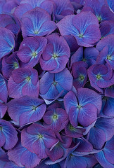 ylesine (ysmn334) Tags: flowers blue beautiful renate hydrangea shrub hortensia mophead steinger macrophylla hortensis