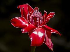 Etlingera Elatior - Tropical Exotic Flowers (sostenesmonteiro) Tags: flowers flores flower nature nikon natureza flor exotic tropical tropicalflowers tropicais d5200 tropicalexoticflowers totecmt
