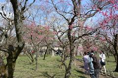 Plum blossoms in Kitano Tenmangu Shrine, , Kyoto, Japan (yhshangkuan) Tags: japan kyoto  ume  kitanotenmangu 2015 kitanotenmangushrine  plumblossomsinkitanotenmangushrine plumblossominkyoto