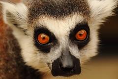 animals monkey lemur johannesburg birdworld ringtailedlemur
