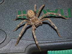 Sparassidae>Neosparassus calligaster Shield Huntsman spider DSCF5973 (Bill & Mark Bell) Tags: exmouth westernaustralia australia geo:town=exmouth geo:state=westernaustralia geo:country=australia geo:lon=11425453egeolat2217752sgeoalt8m 11425453e2217752salt8m taxonomy:kingdom=animalia animalia taxonomy:phylum=arthropoda arthropoda taxonomy:class=arachnida arachnida taxonomy:order=araneae araneae taxonomy:superfamily=sparassoidea sparassoidea taxonomy:family=sparassidae sparassidae taxonomy:genus=neosparassus neosparassus calligaster taxonomybinomialnameneosparassuscalligaster neosparassuscalligaster taxonomycommonnameshieldhuntsmanspider shieldhuntsmanspider spider