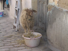 Pet Sheep on Streets of Sousse