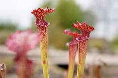 Carnivore plant, RHS Wisley