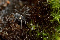 Nemastoma bimaculatum (Ian Redding) Tags: uk nature fauna wildlife arachnid british invertebrate arthropod harvestman harvestmen opiliones opilionid