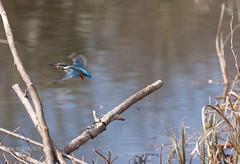 Martin Pcheur (kaigen.photo) Tags: paris france kingfisher boisdevincennes iledefrance oiseaux vincennes faune martinpcheur lutzijeanmarc