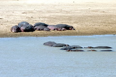 Hippos in and out of Luangwa River