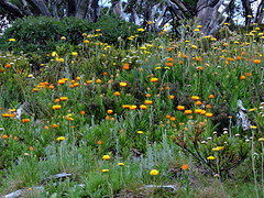 Everlasting meadows (Lesley A Butler) Tags: summer mountains alps forest landscape australia victoria alpine wildflowers mounthotham snowgums greatdividingrange northeastvictoria strawdaisies 20150115n