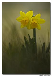 La Jonquille - Narcissus Jonquilla