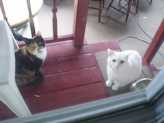 Autumn and Mystic (universalcatfanatic) Tags: door wood autumn 2 two orange cats brown white 3 black blur green window glass stairs cat table gold golden three wooden back blurry eyes chair stair sitting seasons maroon room lawn screen tortoiseshell plastic step porch sit calico tortie mystic backstep