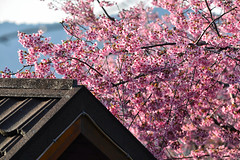 Cherry Blossoms (leon5842) Tags: pink flowers roof black nature buildings landscape outdoors taiwan cherryblossoms    buildingexterior